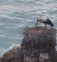Stork and chicks